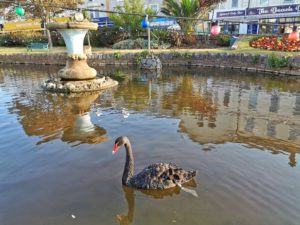 Black Swan of Dawlish